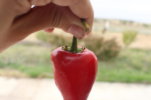 fresh piquillo pepper before being preserved
